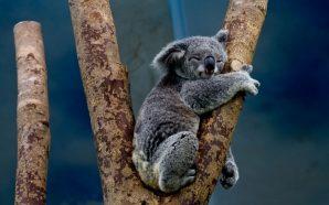 El koala asesino Kenneth Cook